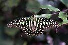 Tailed jay by PhotosByHealy