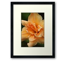 Peach Lily Framed Print