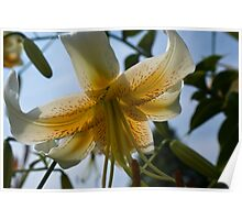 Yellow N White Lily Poster