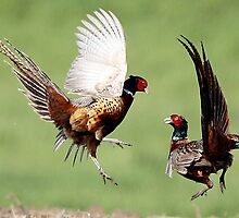 Fighting Pheasants by Skeezer