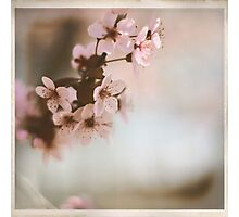Cherry Blossoms - Spring Square Photographic Print