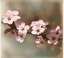 Cherry Blossoms - Spring Square II by moonwillow