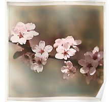 Cherry Blossoms - Spring Square II Poster