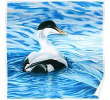 Eider Duck Poster