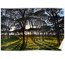 Umbrella pine trees in Strofylia forest Poster