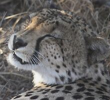 Cheetah- Afternoon Rest  by starvingphoto
