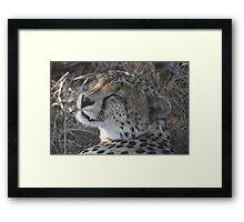 Cheetah- Afternoon Rest  Framed Print