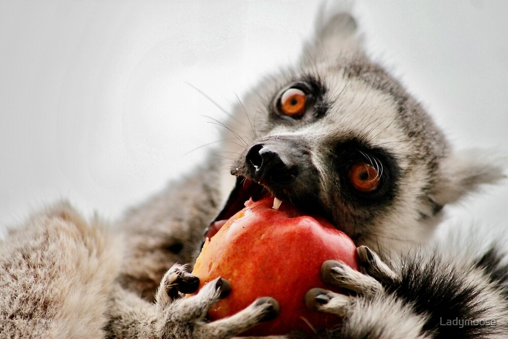 An Apple For The Lemur by Ladymoose