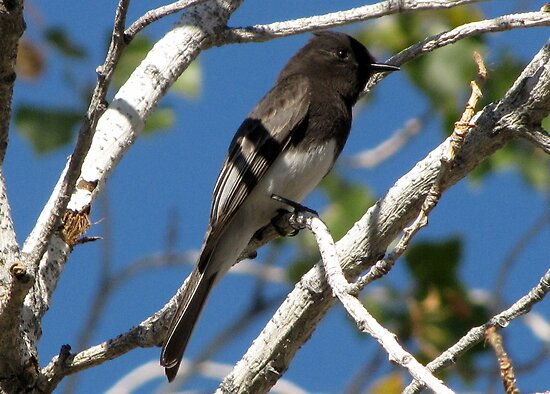 Black Phoebe by Kimberly P-Chadwick