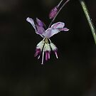 Arthropodium milleflorum by Colin12