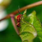 Soldier Beetle by Trevor Kersley