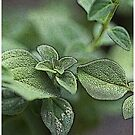 Oregano 1 by Robert Case