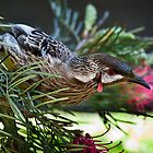 Red Wattlebird (Anthochaera carunculata) by Chris Westinghouse