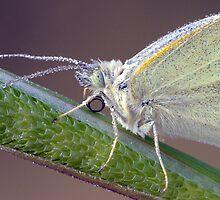 """"""" Butterfly Macro """" by helmutk"""