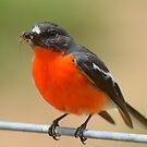 """"""" Flame Robin """" by helmutk"""
