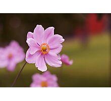 Pink Garden Cosmos Flower Photograph Photographic Print