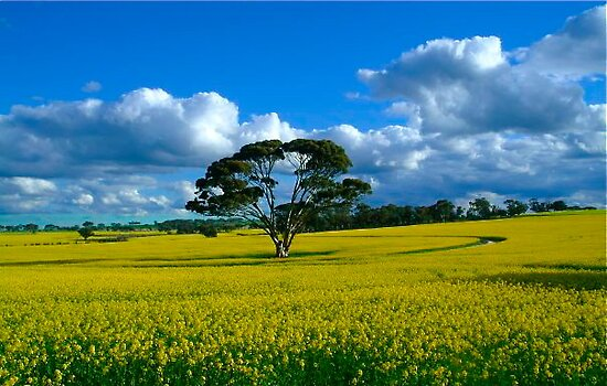 Canola at Wickepin by Penny Smith