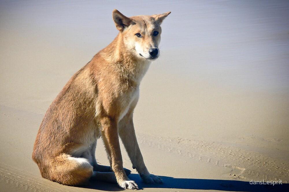 Beach Solitude (Dingo) by dansLesprit
