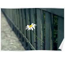 Peeking Daisy Flower Photograph Poster