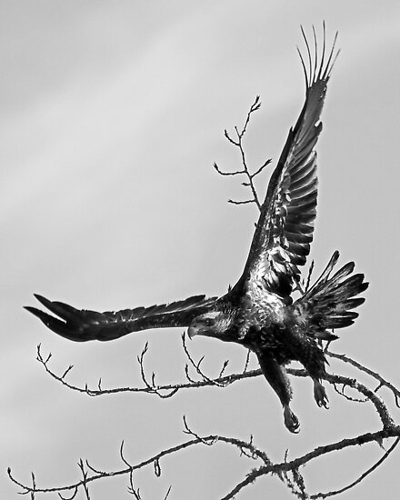 Bald Eagle Takes Off  by Chuck Gardner