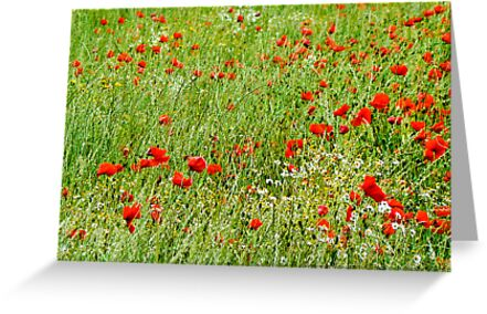 Poppy Field by Trevor Kersley