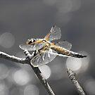 Dragonfly Bokeh by Tracy Wazny