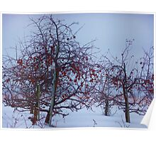 Winter Apple Trees Poster