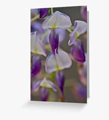 My garden - Wisteria sinensis (Chinese Wisteria) . by Andrzej Goszcz . Favorites: 3 Views: 622 .Thanks !!! Greeting Card