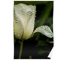White Tulip Drops Poster