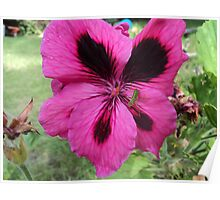 Pink Frill Poster