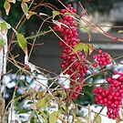 Nandina in the Snow by Kate Eller