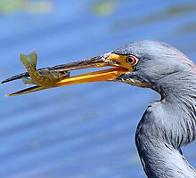 Tricolored heron with catch by jozi1