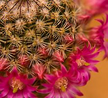 Pink Cactus Flowers by crystalseye