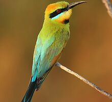 Rainbow bee eater by mhall