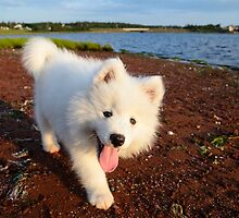 Samoyed puppy strolling the beach by Curtox