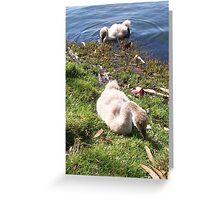 Black Swan Cygnets Greeting Card