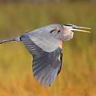 Great Blue Heron In Flight by naturalnomad