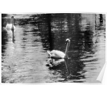 Swans on the lake Poster