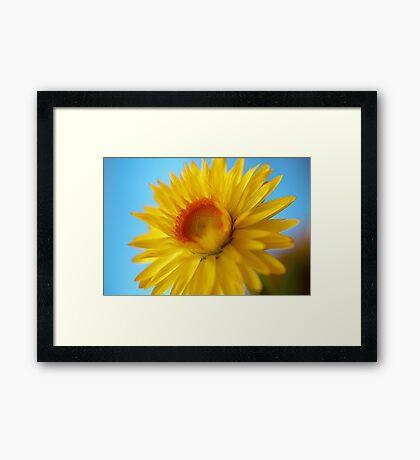 Sunlit Daisy Framed Print