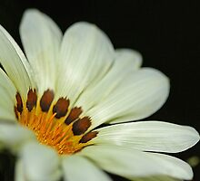 White Gazania by Lincoln Stevens