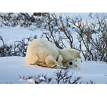 Yoga Bear twist Photographic Print
