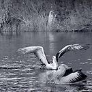 Pelicans - Hay River by pennyswork