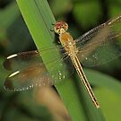 Dragonfly With Gold Tail by Lincoln Stevens