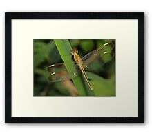 Dragonfly With Gold Tail Framed Print