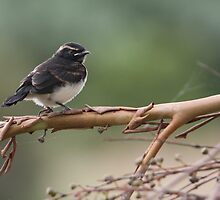 Baby Wagtail by Phillip Weyers