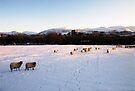 Sheep in the Snow by Michael Haslam