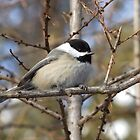 Chickadee- Poecile atricapilla by Tracy Faught