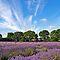 Your Best Lavender Image $20RB Voucher