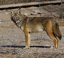 011411 Coyote by Marvin Collins