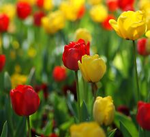 Tulip Garden by crystalseye
